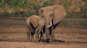 african-elephants-24997