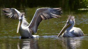 Pelican-Dreams-Funny-Duo
